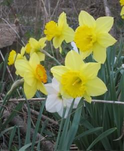 daffodil; StephanieRische.com